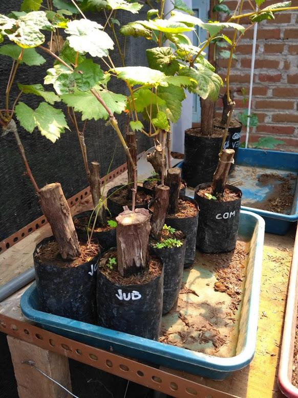 Bibit anggur import jubile hasil grafting Kota Administrasi Jakarta Barat