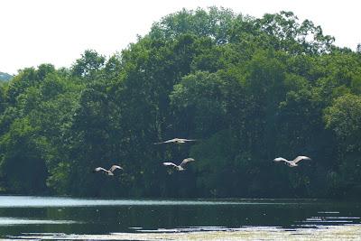 canada gouse volant au dessu du lac à minneapolis à coté de notre maison ,les oies se sont envolées dès que nous sommes arrivés volant ainsi au-dessus du lac et nous permettant de faire une très belle photo.