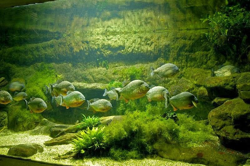 Piranha akvaryumları