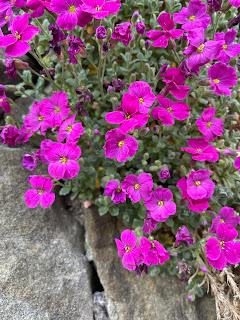 Aubrieta deltoidea - Purple Rock Cress, a pink cultivar? – via Castagneta.
