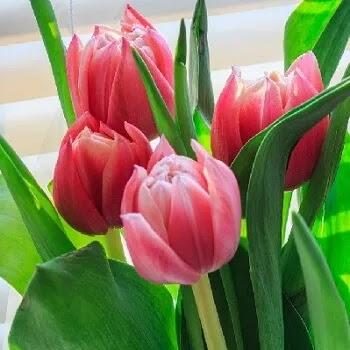 कन्द पुष्प, Tulip flowers name in Marathi