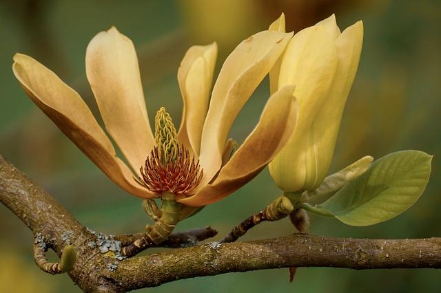 y nghia hoa moc lan