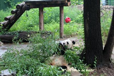 Panda Pechino