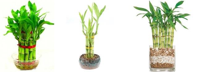 bambu keberuntungan