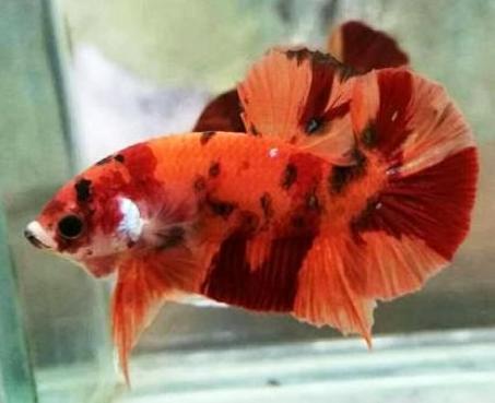 Mengenal Jenis-Jenis Ikan Cupang Black Samurai Termahal ...