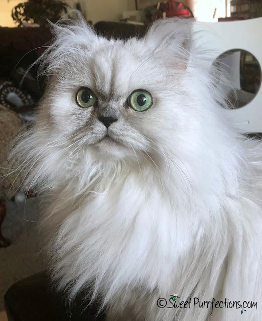Silver shaded Persian, Truffle (headshot)