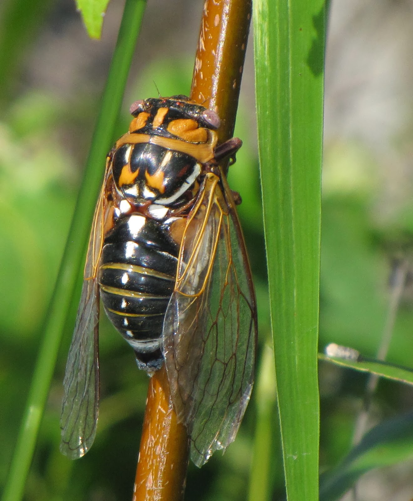 cicada - photo #38