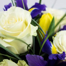 trandafiri iris