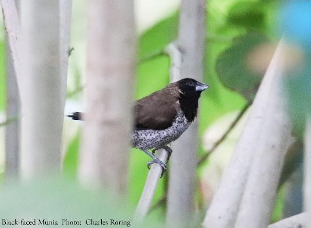 Black-faced Munia (Lonchura molucca)