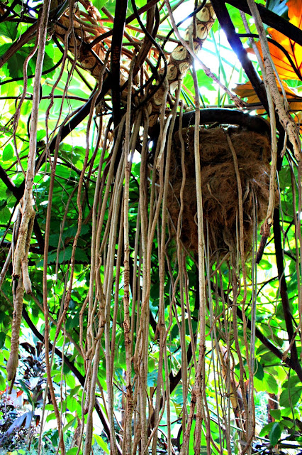 Elaborate rainforest root system at Garfield Park Conservatory in Chicago.