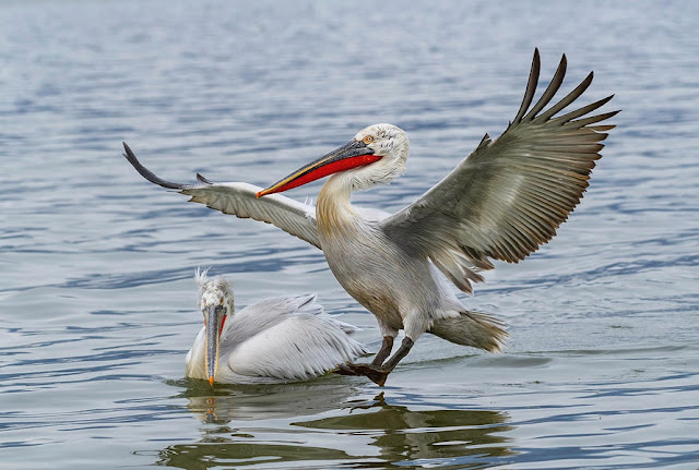 The Curly Pelican 'invades' Lake Prespa