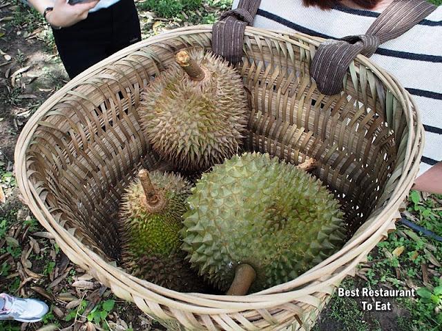 Durian Harvesting at Raub Pahang