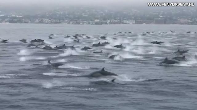 Hadseregnyi delfin tűnt fel Kaliforniánál, mintha menekülnének valami elől /VIDEÓ/