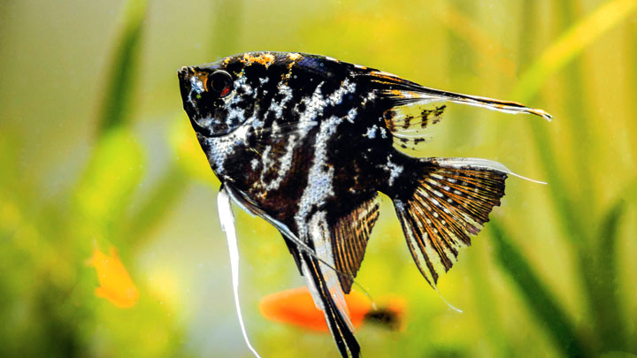angelfish black and white