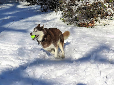 Siberian Husky dogs, Dogs, Huskies