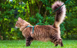 7 consejos para entrenar a tu gato con la correa
