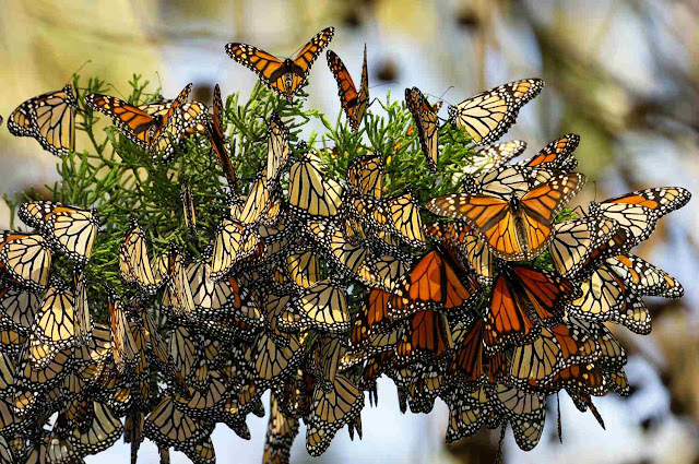 Bảo tàng bướm Morelia
