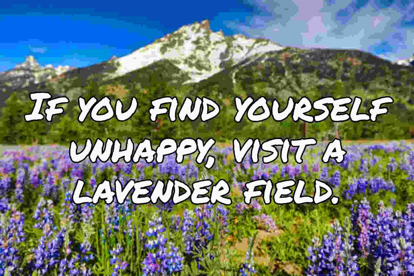 Lavender field captions for Instagram