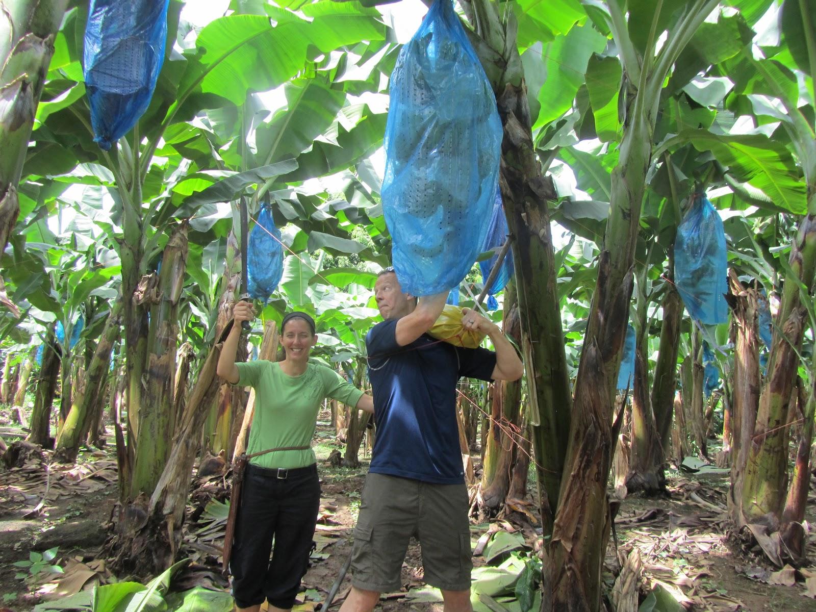 dole eko banana plantage