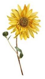 gambar bunga matahari setelah diwarnai