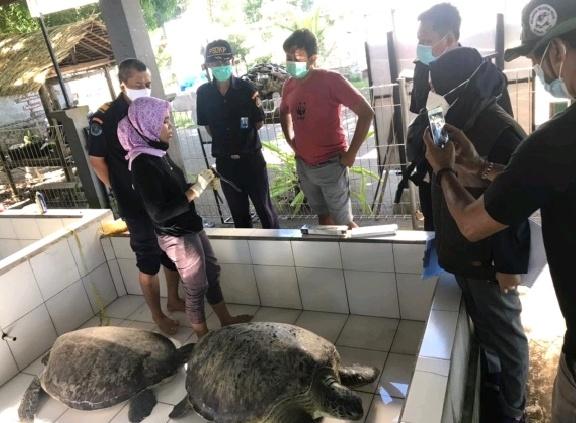 KKP Pastikan Penyu Hijau Hasil Sitaan Sehat Sebelum Dilepasliarkan Kembali