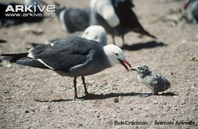 Heermann´s Gull with chick