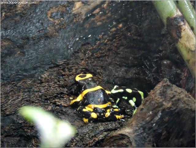 Selva Tropical del Biodôme: Ranas de Dardo Venenosas