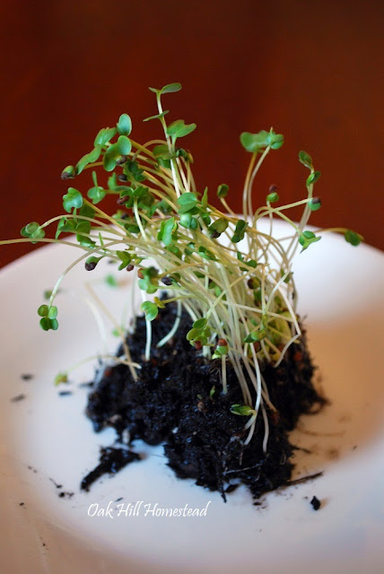 Nature's fast food: sprouts, shoots and microgreens