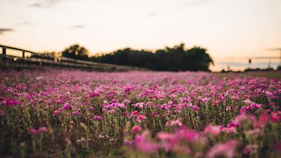 Papel de Parede Campo de Flores Rosas para PC