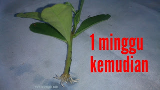 Cara menanam gingseng Jawa untuk persediaan penghoby burung lovebird dan kenari