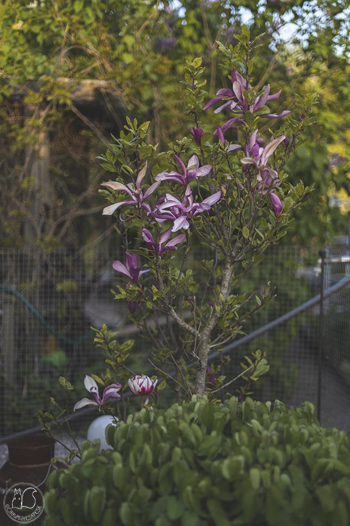 Magnolia liliiflora 'Susan' oravankesäpesä kukka pensas