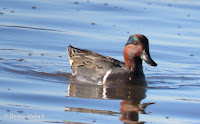 Green-winted teal male, winter visitor to Hawaii - by Denise Motard
