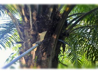 tujuan-pruning-kelapa-sawit.jpg