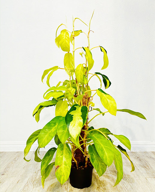 Philodendron Golden Goddess from Hirts