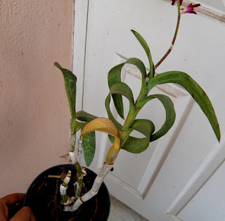 An orchid that really needs attention