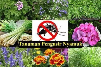 Kumpulan Tanaman Pengusir Nyamuk Alami