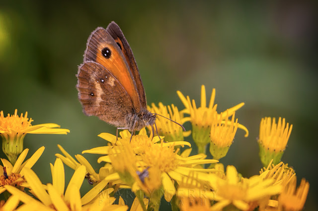 Photograph of a Gatekeeper butterfly at Barnack Hills & Holes