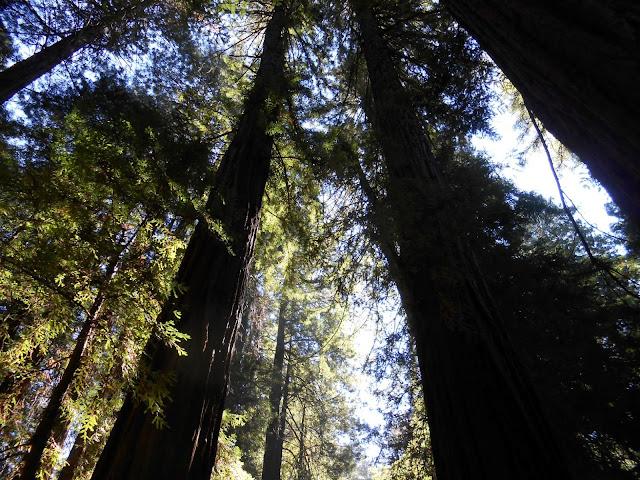 redwood trees, darkness, light