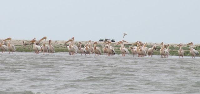 insula pelicanilor sacalin