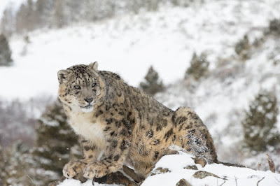 kyrgyzstan snow leopards conservation, snow leopards in kyrgyzstan mountains