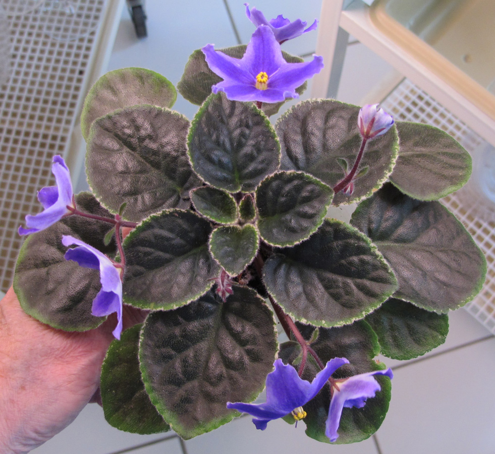 Why violets do not bloom: the main reasons 20