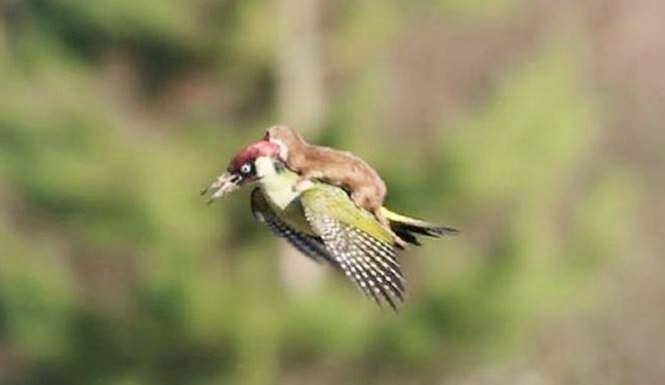 Musang Tertangkap Terbang Menunggang Burung Pelatuk