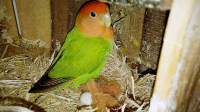 SISTEM TERNAK BABUAN PADA LOVEBIRD