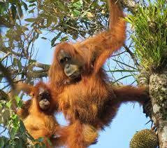 Perilaku Bersarang orangutan