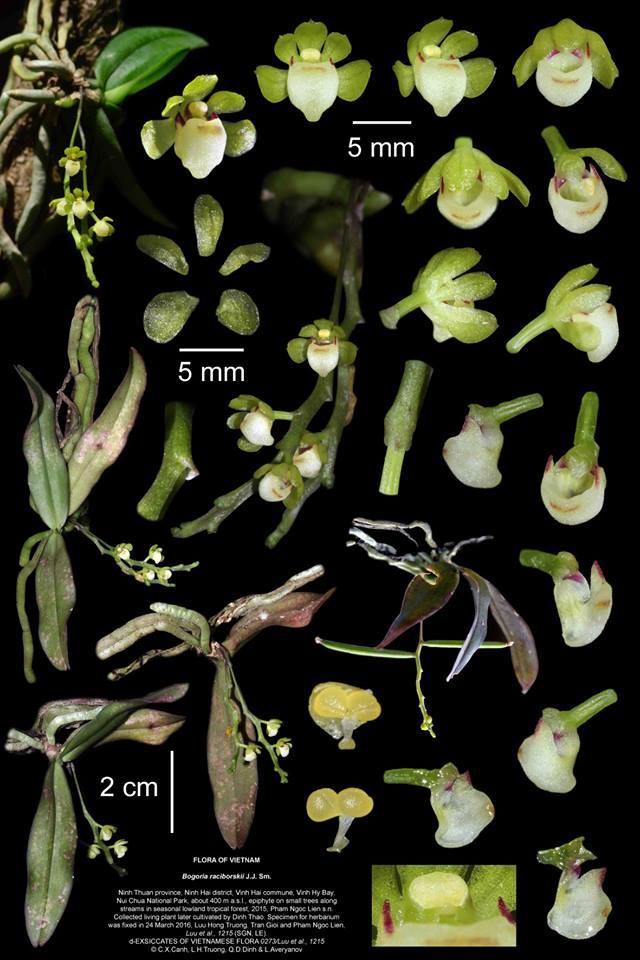 Bogoria new orchid