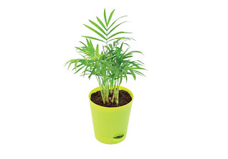 Bamboo Palm for sleep