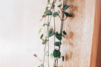 String of heart - Hanging plant