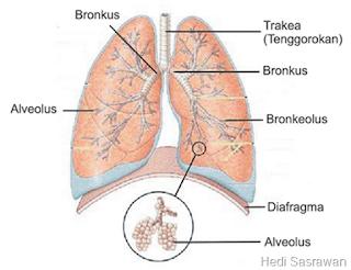 bagian-bagian paru-paru