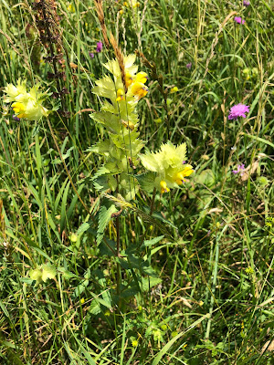[Orobanchaceae] Rhinanthus alectorolphus - Greater Yellow Rattle (Cresta di gallo comune)