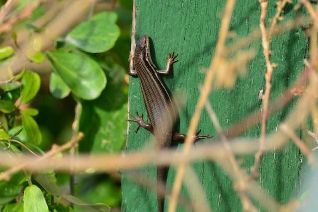 Trachylepis homalocephala